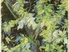 1890 Branches d'acacia fleuries